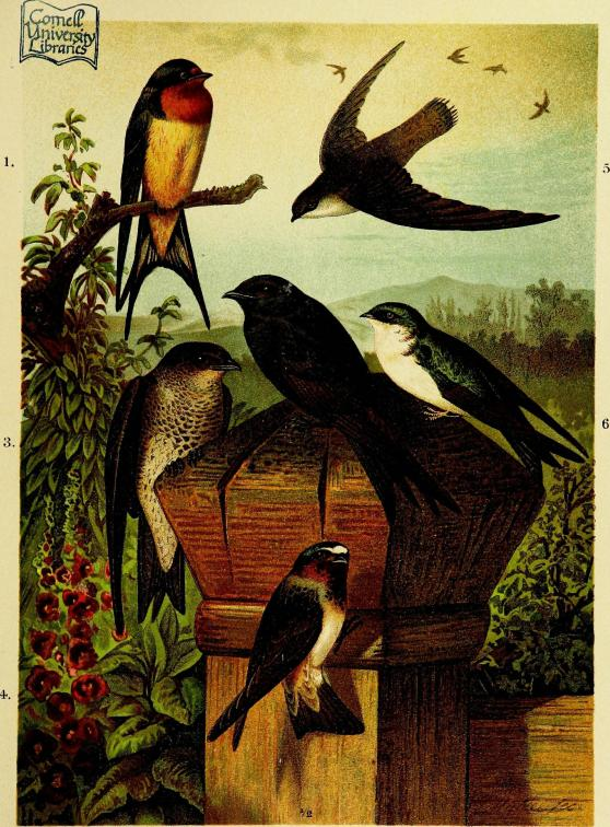 Our_native_birds_of_song_and_beauty,_being_a_complete_history_of_all_the_songbirds,_flycatchers,_hummingbirds,_swifts,_goatsuckers,_woodpeckers,_kingfishers,_trogons,_cuckoos,_and_parrots,_of_North_(14564189440)