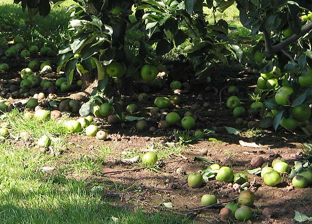 august_windfalls_-_geograph-org-uk_-_533902