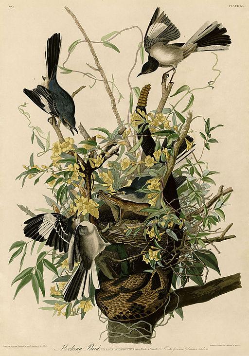 512px-Mocking_Bird_(Audubon)