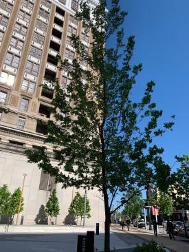 Theresienstadt Tree, Philadelphia