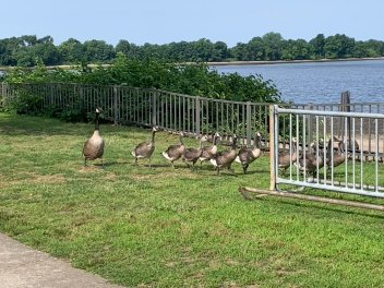 The baby geese are almost grown.