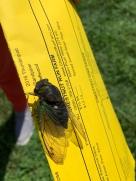 More Bugs! Cicada comes a-calling